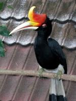 Nashornvogel im Vogelpark von Kuala Lumpur