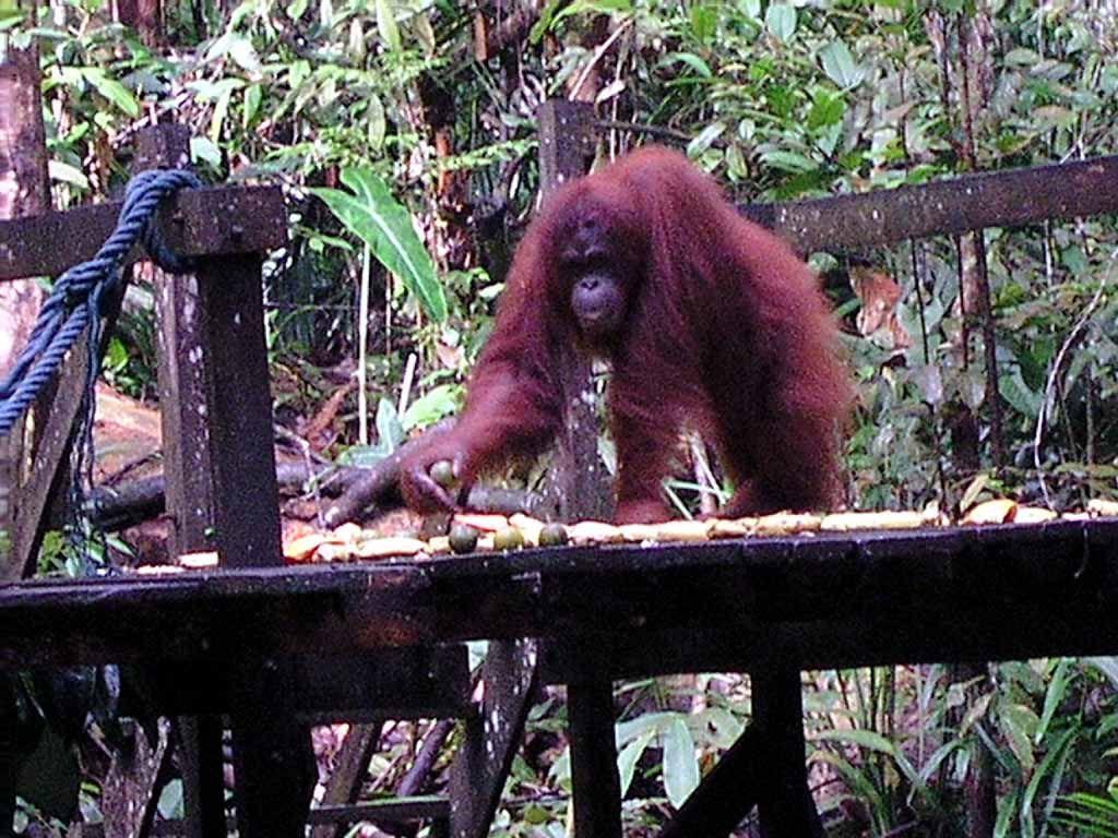Orang Utan im Semenggoh Wildlife Centre