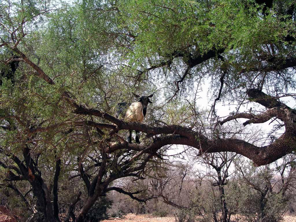 Ziege in einem Arganienbaum nahe Taroudannt