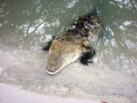 Krokodil in Gefangenschaft