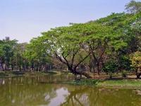 Yangon, Baum am Kandawgyi See