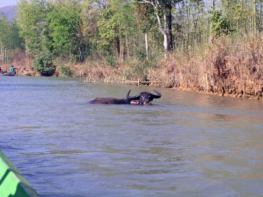 Taunggyi, Inle See, Wasserbüffel