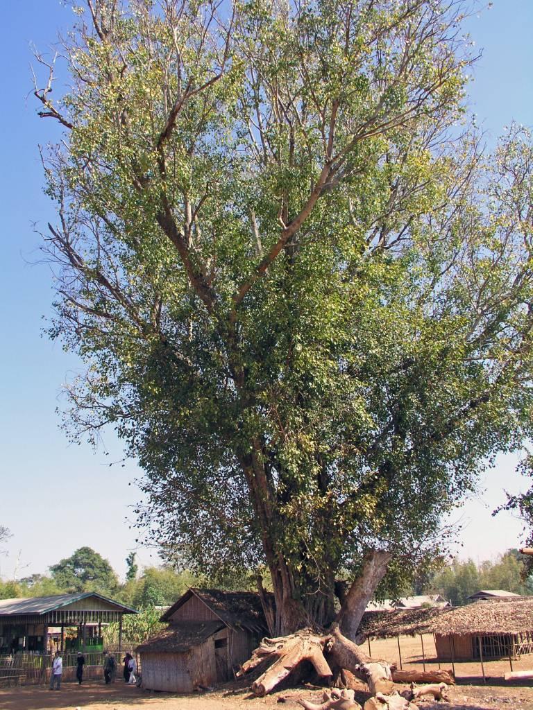 Taunggyi, Inle See, Baum