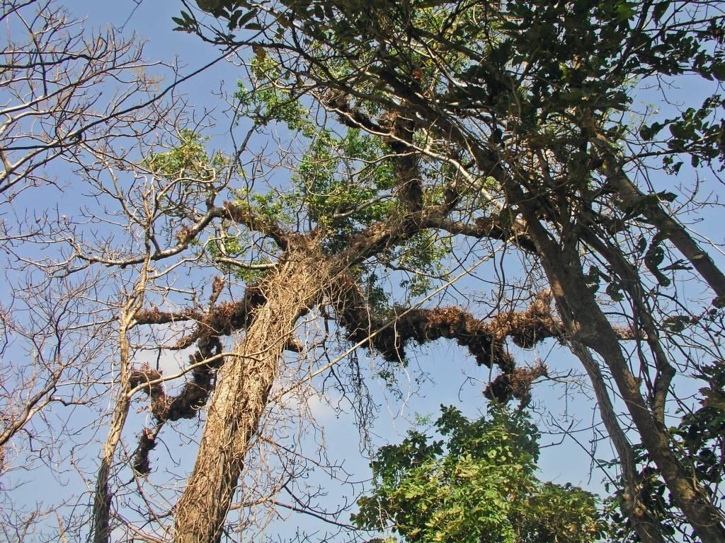 Ngwe Saung, Liebesinsel, alte Bäume