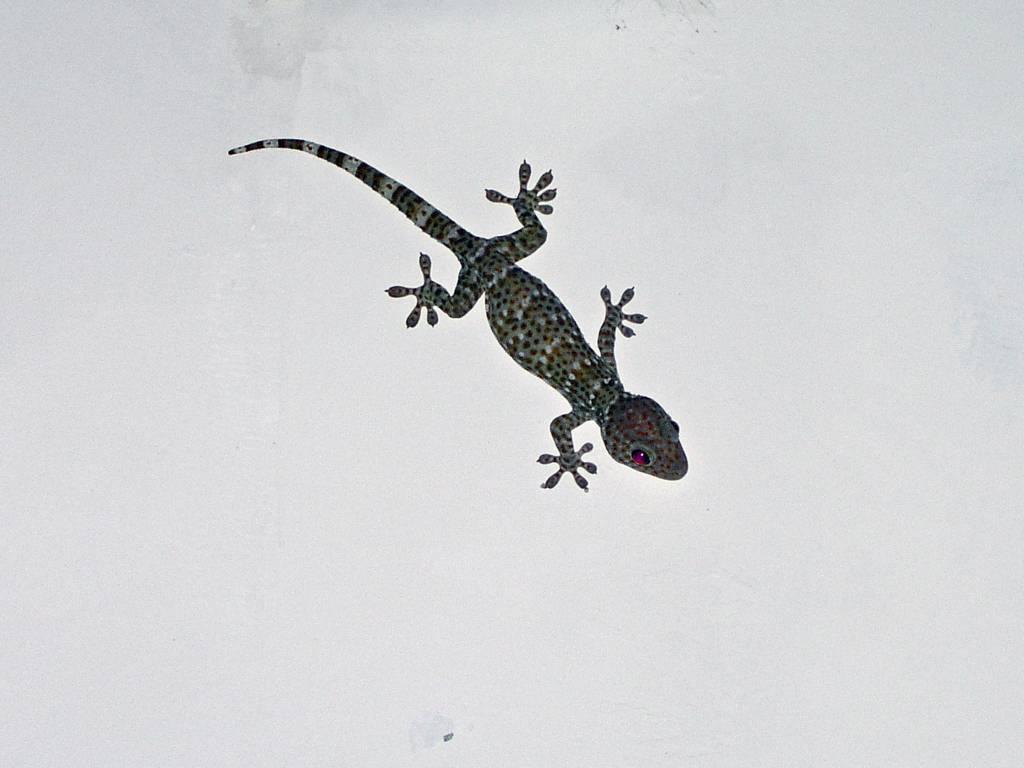 Ngwe Saung, Palm Beach Resort, Gecko