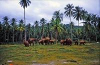 Pinnawala, Elefantenwaisenhaus