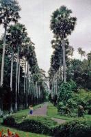Kandy, Paradeniya Botanical Gardens, Palmenallee