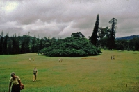 Kandy, Paradeniya Botanical Gardens, Ficus