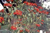 Nuwara Eliya, Grand Hotel, Weihnachtsstern im Garten