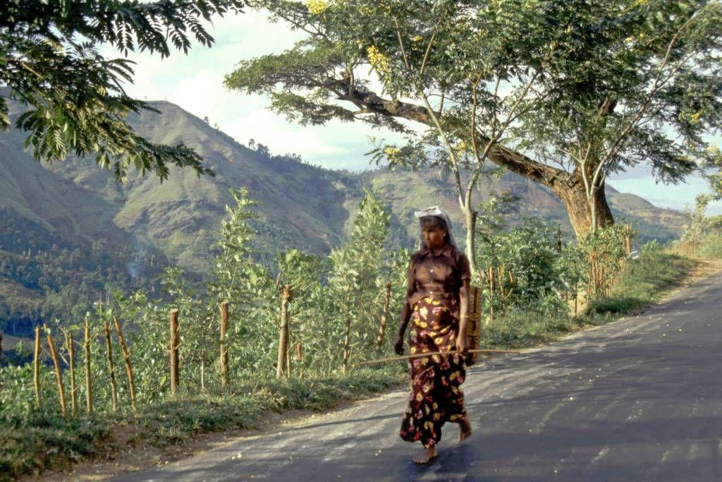 an der Strecke von Hikkaduwa über Galle, Weligama, Ella nach Nuwara Eliya, Teepflückerin bei Helapupula