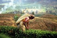auf dem Weg von Nuwara Eliya zurück Richtung Colombo, Teepflückerin