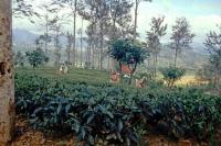 auf dem Weg von Nuwara Eliya zurück Richtung Colombo, Teeplantage