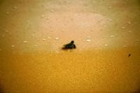 Hikkaduwa, frisch geschlüpfte Schildkröte auf dem Weg zum Meer