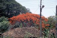 Polonnaruwa, Feuerbaum