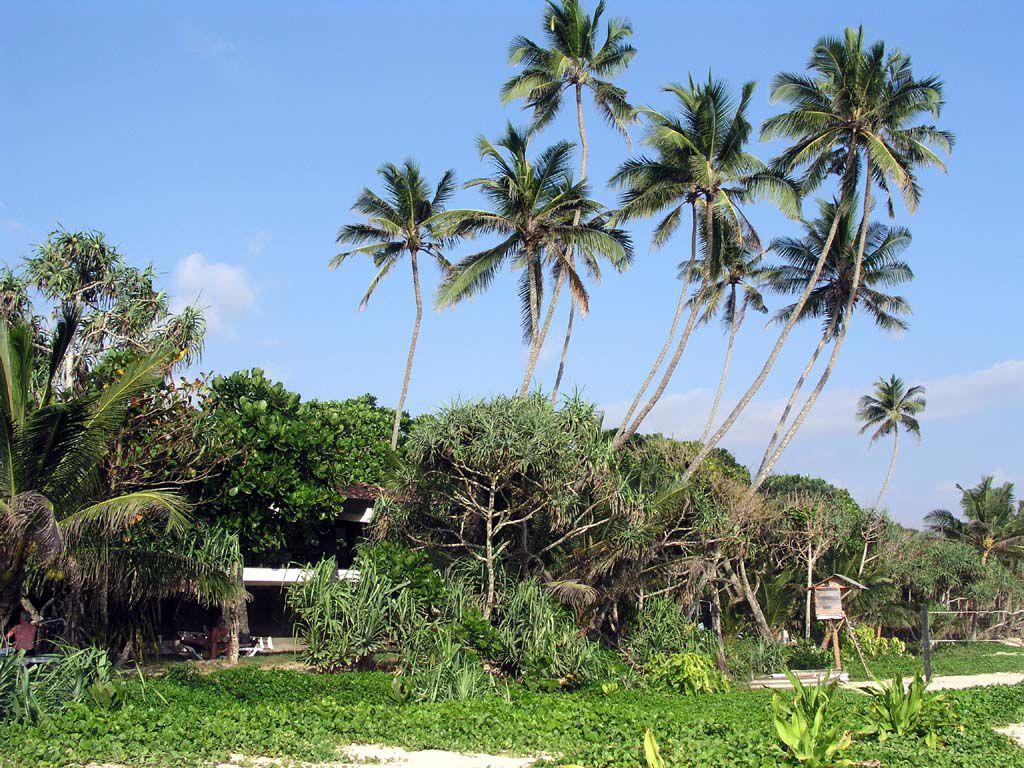 Mangroven- / Palmensaum zwischen den Unterkünften des Koggala Beach Hotels und dem Meer
