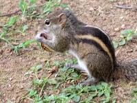 Streifenhörnchen im Garten des Koggala Beach Hotels