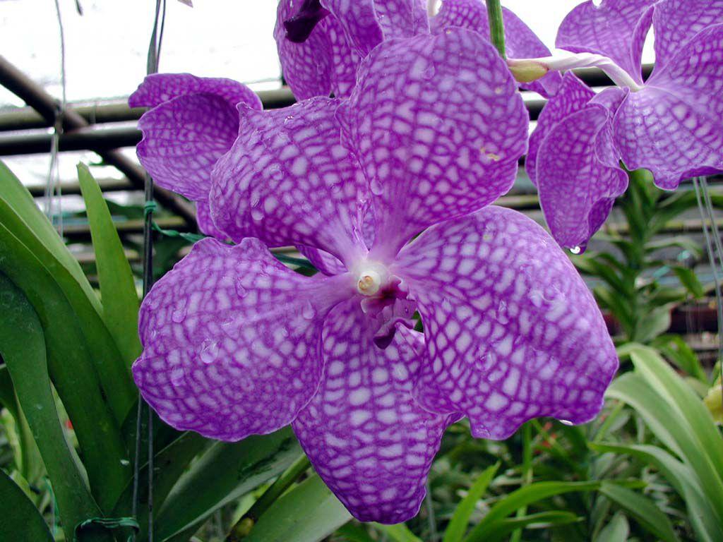Orchidee in einer Orchideenfarm südöstlich von Chiang Mai