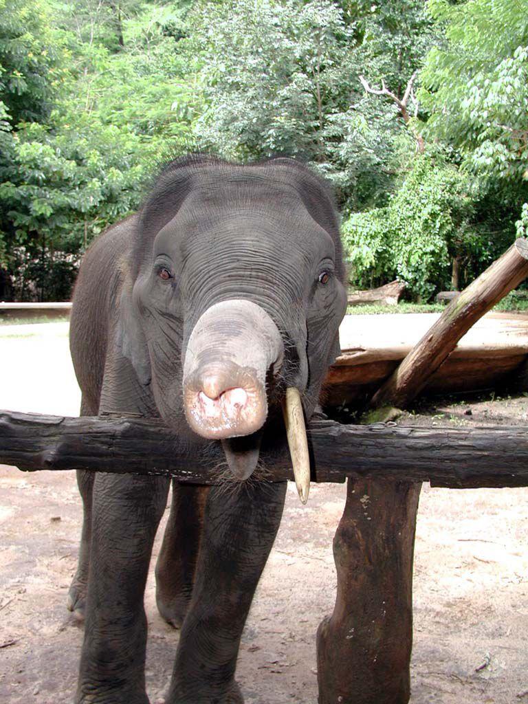 Junger Elefant in einem Camp südöstlich von Chiang Mai