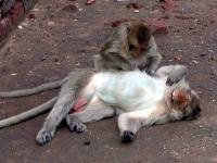 Affen beim Lausen in Lopburi