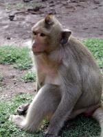 Affe in Lopburi