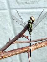 Libelle in Jomtien