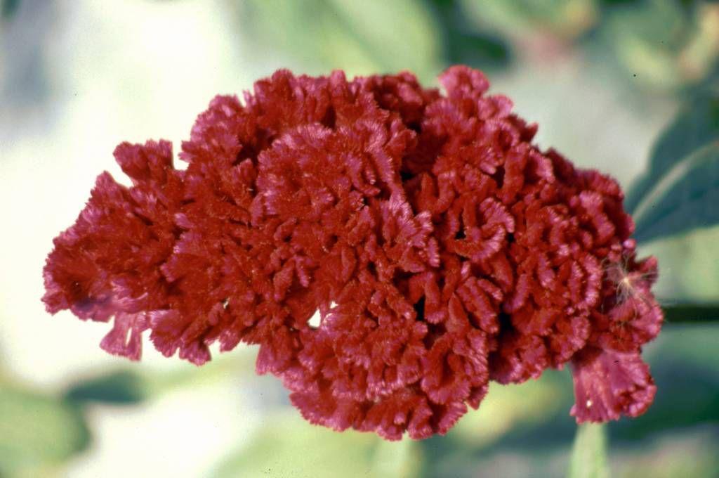 Pamukkale, Blüte