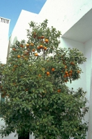 Port el Kantaoui / Sousse, Hotel Royal Salem, Orangenbaum