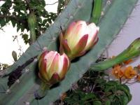 Kakteen im Garten des Kanta