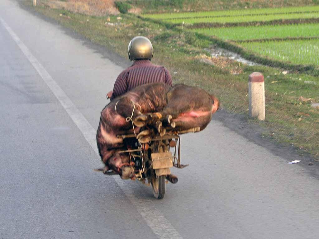 Wasserbüffeltransport nahe Haiphong