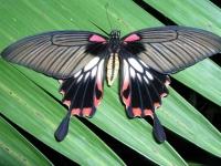 Mui Ne, Schmetterling