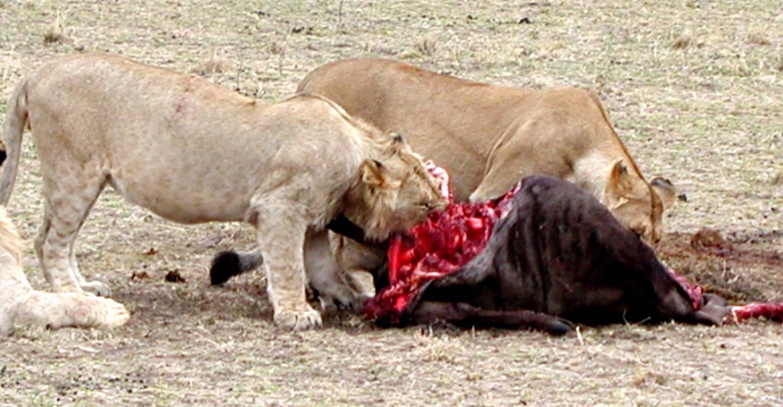 Löwen nach erfolgreicher Jagd